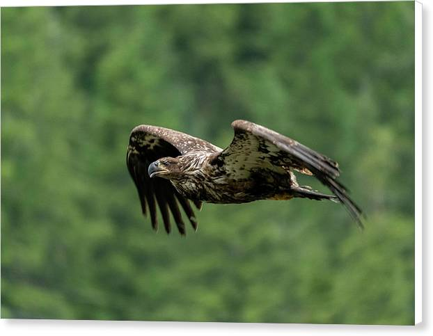 Young Eagle - Canvas Print