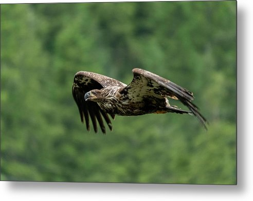 Young Eagle - Metal Print