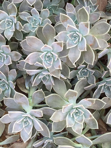Foolproof Succulents Easy To Care For | Paloverde