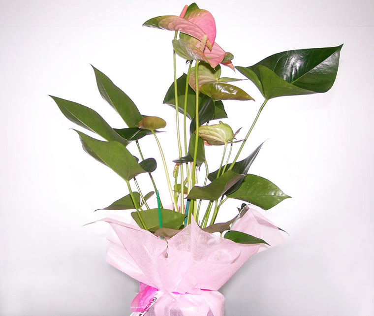 ANTHURIUM PLANT MINIATURE COLOUR MAY VARY
