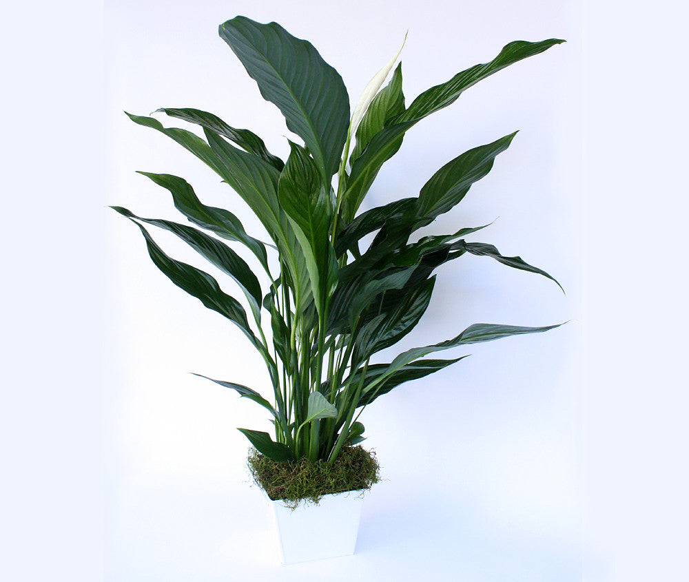 One lush Peace Lily.  - Presented in a white ceramic pot