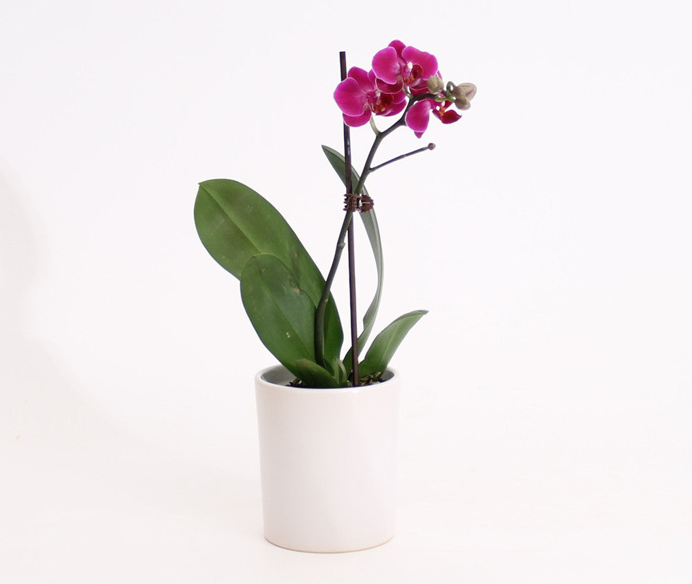 MINIATURE  PHALAENOPSIS ORCHID (White only)