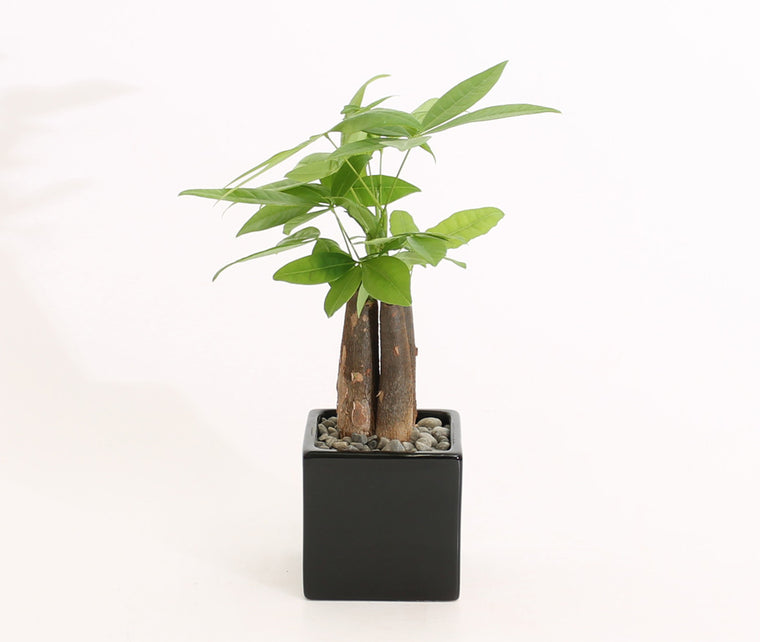 PACHIRA AQUATIC (MONEY TREE)