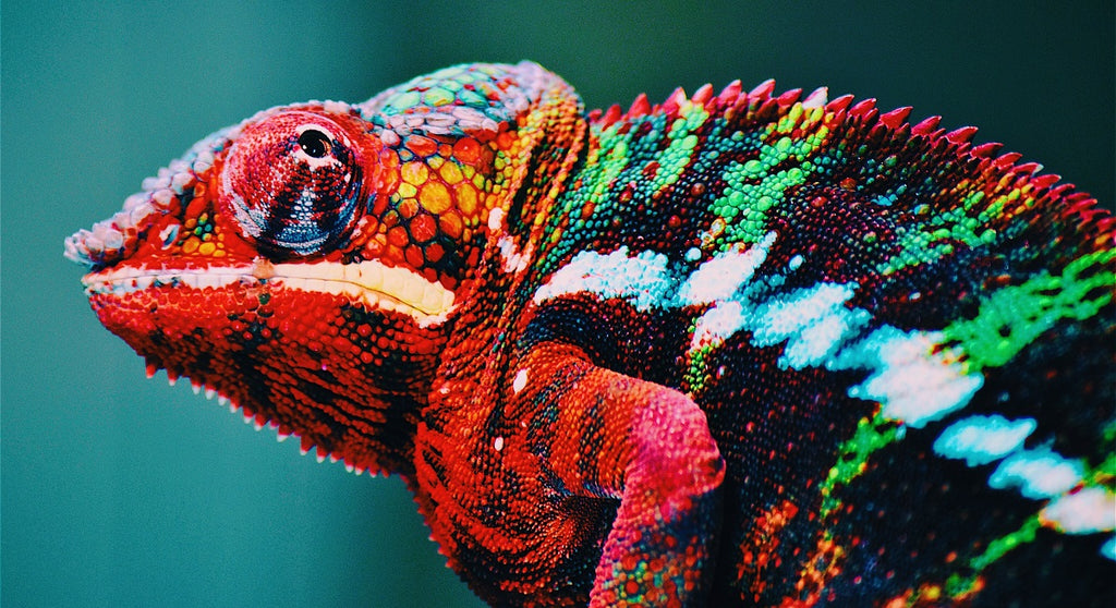 Close-up of colourful chameleon