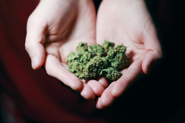hands holding buds of cannabis flower