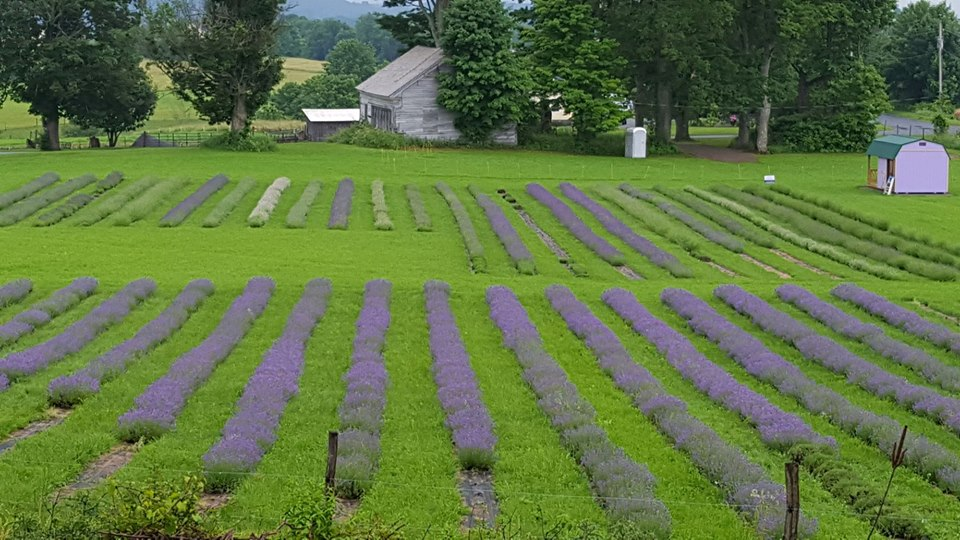 Fields of Lavender at Lavenlair Farm