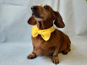 Bow collar for dachshund or small dog