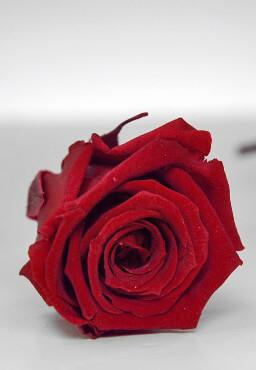 preserved roses 1in burgundy red 15 roses