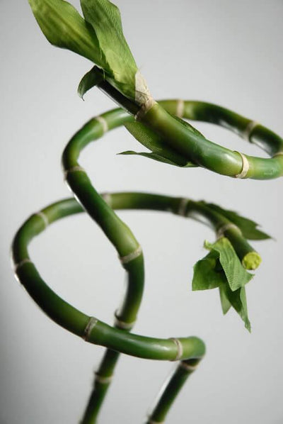 Lucky Curly Bamboo 27in