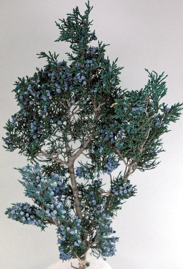 Preserved Juniper Branch with Berries 10in