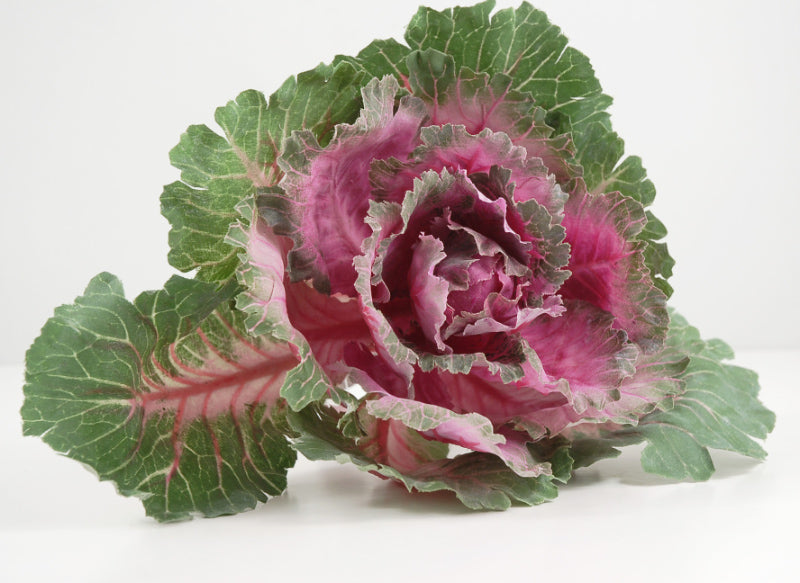 ornamental cabbage cerise green 10