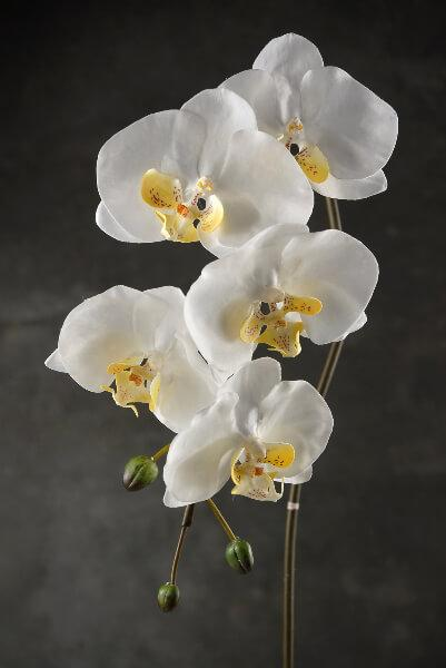 36 large phalaenopsis orchid spray with 5 flowers and 3 buds cream white