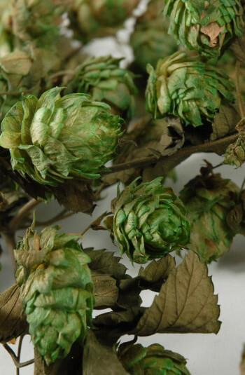 natural hops garland air dried 18