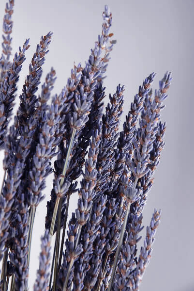 Natural Dried Lavender 20 Inch 120 Stems