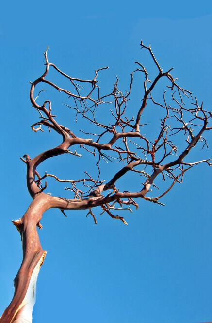 manzanita branches red bark 16 18in