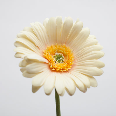 richland yellow gerbera daisy 24