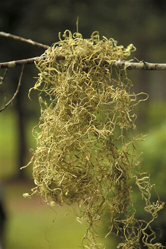 chartreuse spanish moss 1 lb 700 cubic in bag