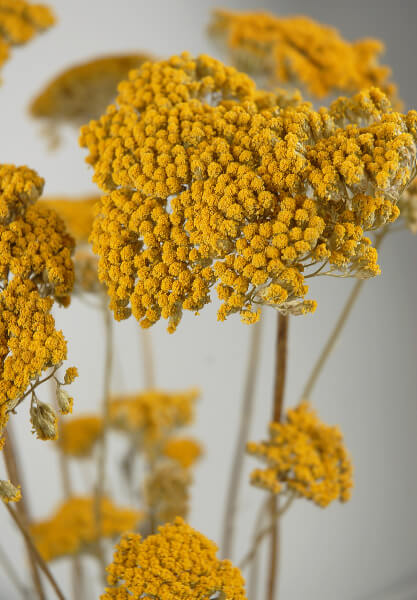 yellow natural yarrow 10 stems
