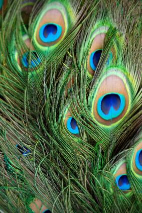 100 peacock eye feathers 8 12in