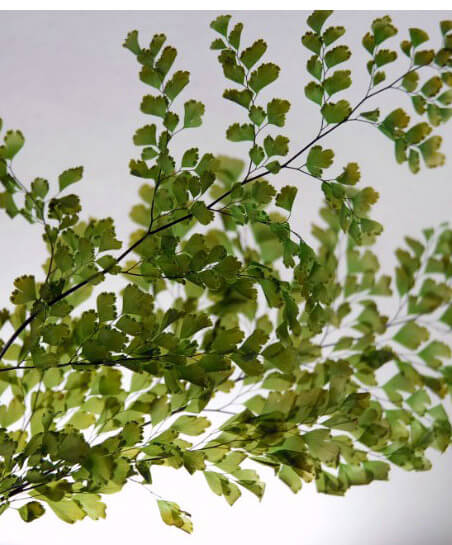 preserved ferns 10in 5 6 stems lutti adianthum