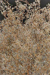 silver sparkle preserved baby s breath branches 24in 4oz bundle