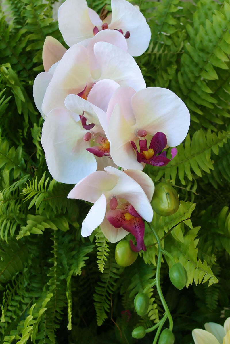 "Phalaenopsis Orchid Spray in Cream  with Pink & Purple Highlights - 33"" Tall"