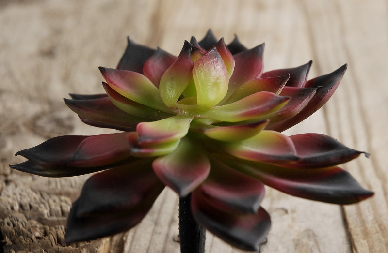 burgundy green echeveria 4 5in natural touch succulent