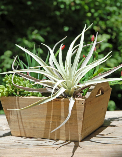 Tillandsias Frosted Air Plant  12x10