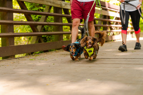 two dachshunds running