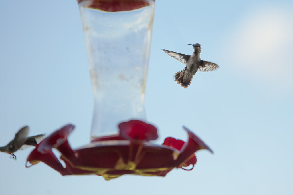 Hummingbird Feeders Hang From the Edge of Sinya's Canopy