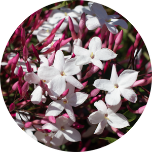 Jasmine Attar Motia Essential Oil