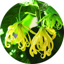Load image into Gallery viewer, Ylang Essential Oil