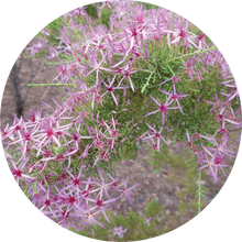 Load image into Gallery viewer, Australian Heather Essential Oil