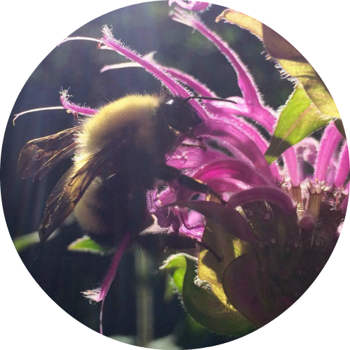 Bee Balm Essential Oil