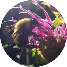 Load image into Gallery viewer, Bee Balm Essential Oil