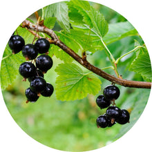 Load image into Gallery viewer, Black Currant Absolute