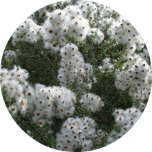 Load image into Gallery viewer, Chamomile, Cape Essential Oil