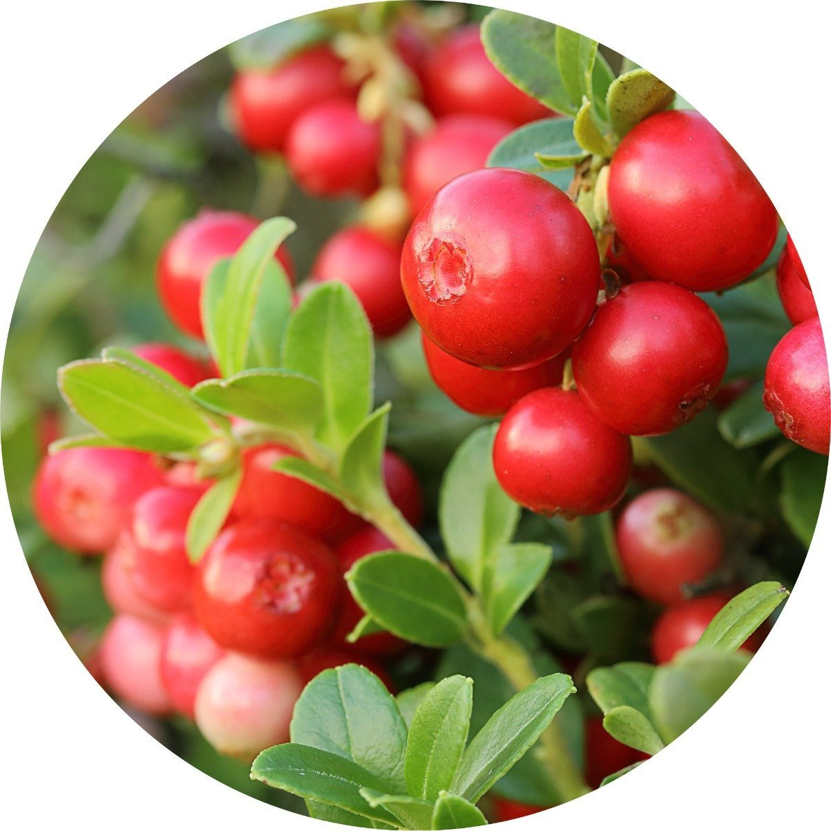 Cranberry Seed Carrier Oil