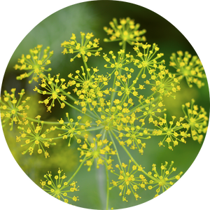 Dill Essential Oil