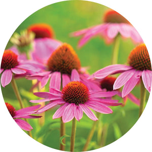 Echinacea Essential Oil