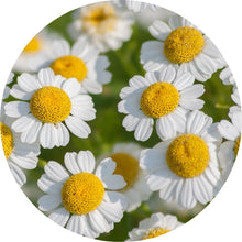 Load image into Gallery viewer, Feverfew Essential Oil