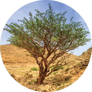 Frankincense, Green Hojari Essential Oil