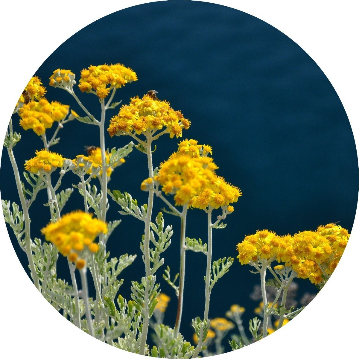 Immortelle Essential Oil