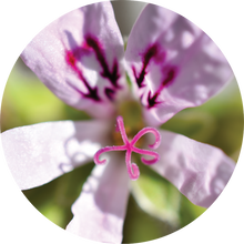Load image into Gallery viewer, Geranium, Lemon Essential Oil