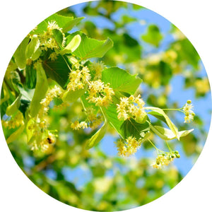 Linden Blossoms Essential Oil