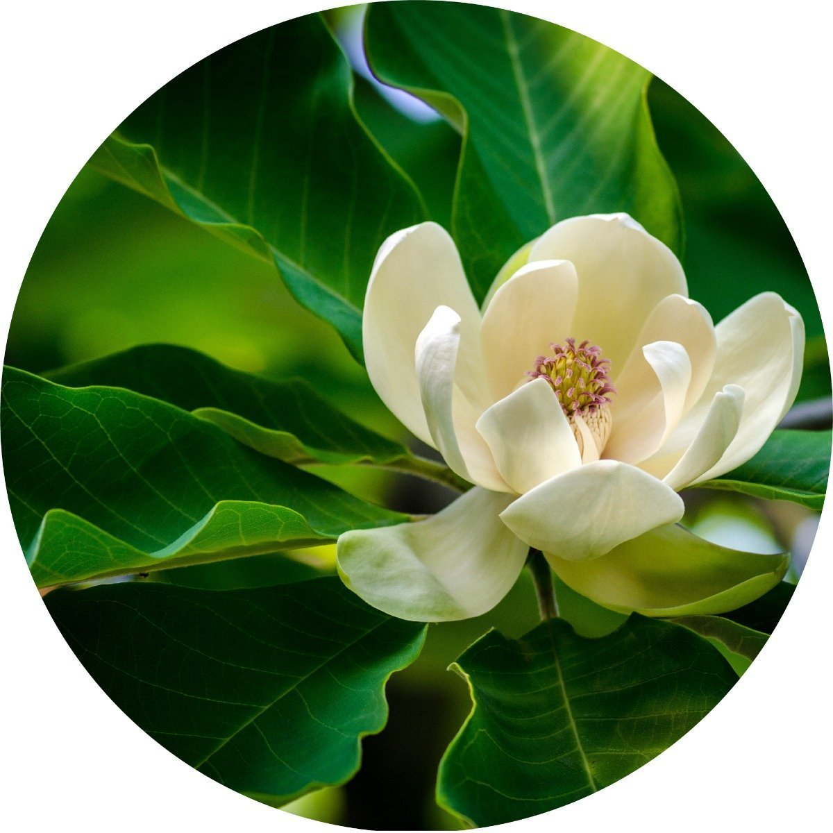 Magnolia Leaf Essential Oil