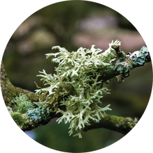 Load image into Gallery viewer, Oakmoss Absolute