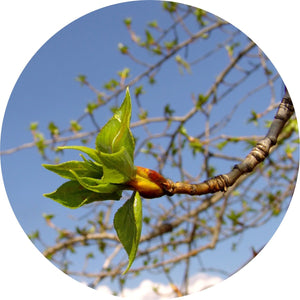 Poplar Bud Absolute