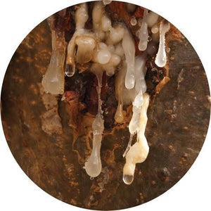 Frankincense, Royal Hojari Essential Oil