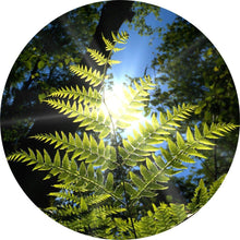 Load image into Gallery viewer, Sweet Fern Essential Oil